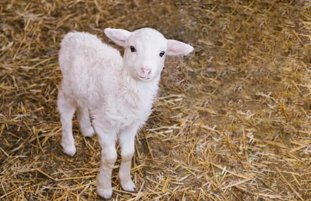 W stodole stoi biały baranek. mała owieczka patrzy w kamerę.