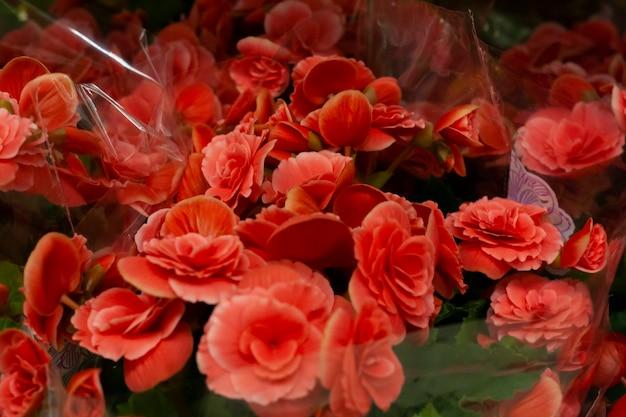 W supermarkecie sprzedawane są czerwone begonie
