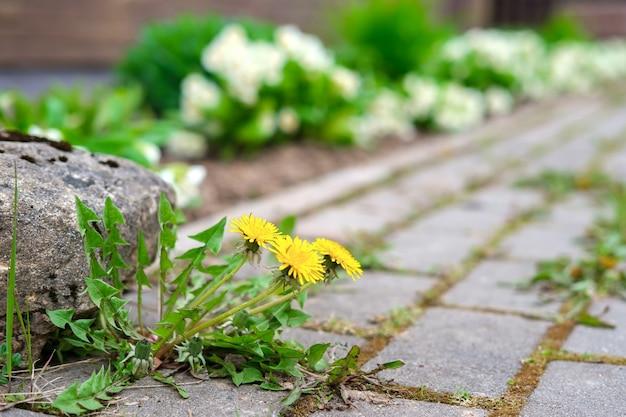 W szczelinach między kostką brukową wyrosły żółte mlecze wraz z mchem. w pobliżu leży duży kamień i rosną małe białe kwiaty.