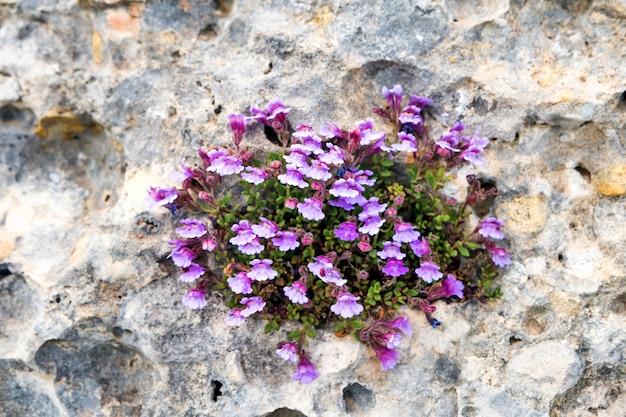 W szczelinie na skale wyrastają małe fioletowe kwiaty. tło koncepcji natury
