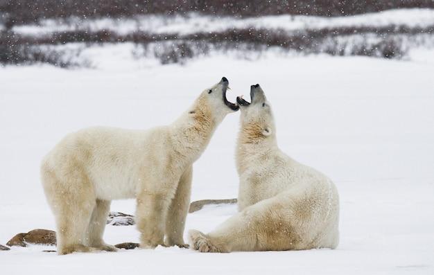 W tundrze bawią się ze sobą dwa niedźwiedzie polarne. kanada.