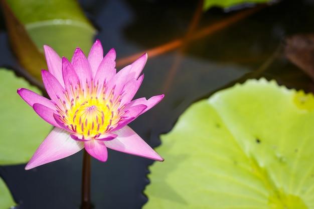 W wodzie kwitną różowe kwiaty lotosu