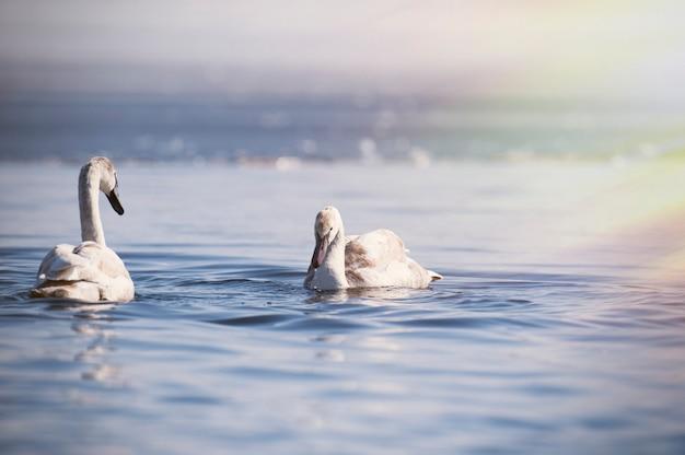 W wodzie łabędzie nieme. białe łabędzie pływające po wodzie.