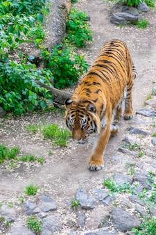 W zaroślach zakrada się niebezpieczny duży tygrys. tygrys tropiący.