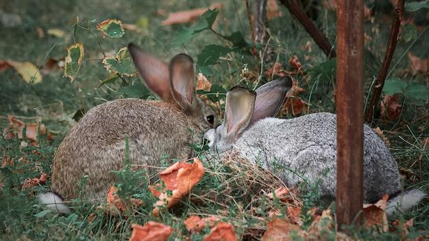 W zielonej trawie siedzą dwa szare króliki