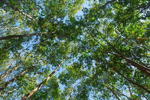 W związku z drzewo gumowe para. tło plantacji gumy
