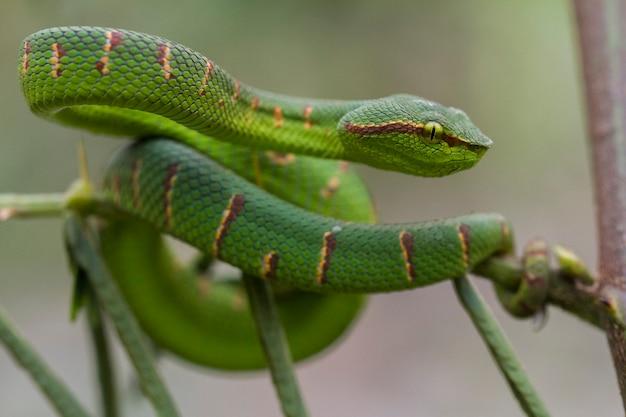 Wagler's pit viper snake