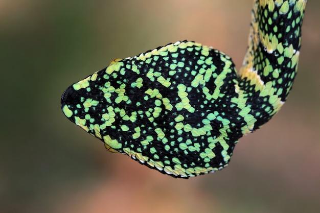 Wagleri żmija węża zbliżenie głowy piękny kolor węża wagleri