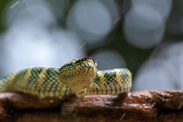 Waglers pit viper na gałęzi drzewa
