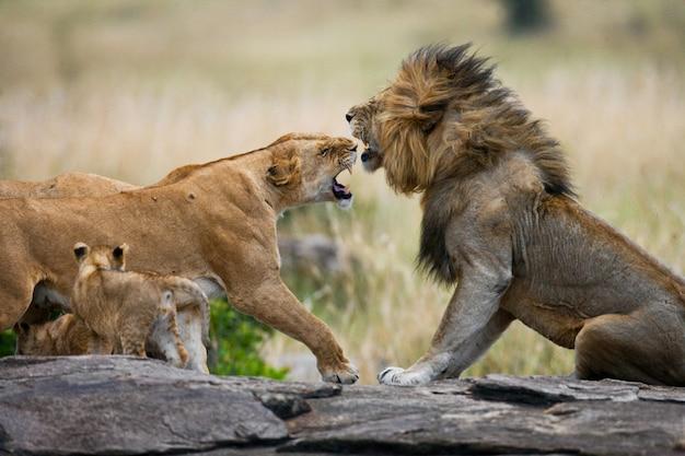 Walcz w rodzinie lwów. park narodowy. kenia. tanzania. masai mara. serengeti.