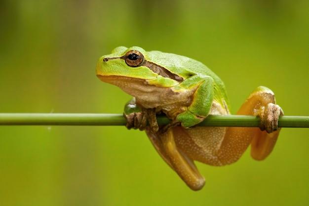Walcząca europejska drzewna żaba trzyma dalej trawy ostrze w bagna.