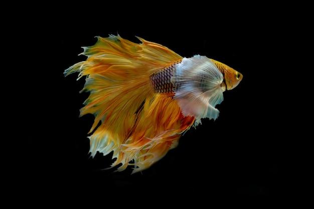 Walcząca ryba na białym tle na czarnym tle.