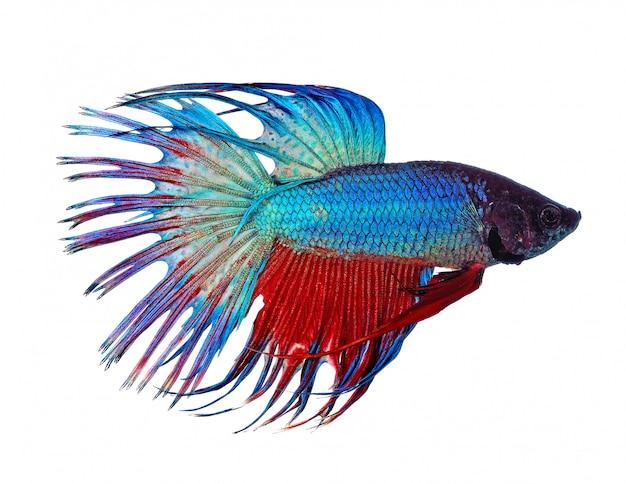 Walcząca ryba odizolowywająca na bielu