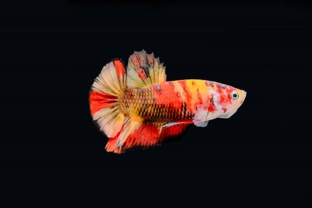 Walcząca ryba odizolowywająca na czarnym tle