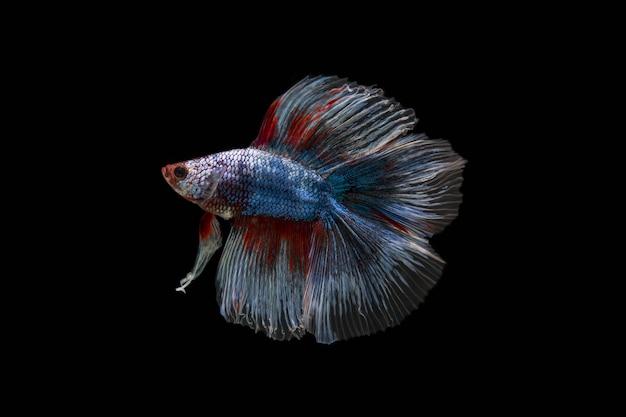 Walcząca ryba
