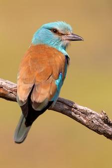 Wałek europejski z pierwszymi światłami dnia, ptakami, korakowate, coracias garrulus