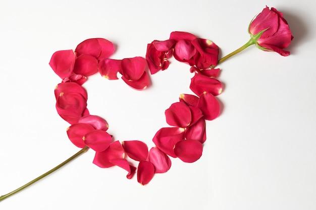 Walentynki kwiaty. różowy kwiat róży i płatki na białym tle z miejsca na kopię, zbliżenie