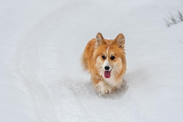 Wales corgi pembroke puszysty biegnie przez śnieg w mroźny zimowy dzień