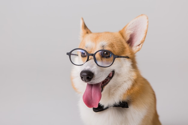 Walijski corgi pembroke w okularach