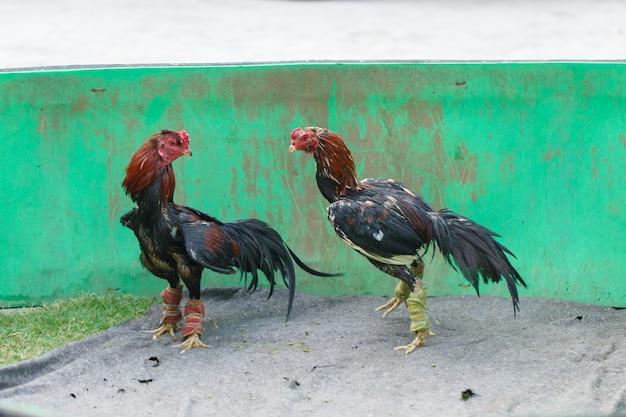 Walki w gamecocks