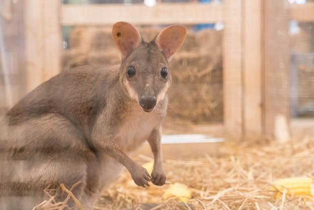 Wallaby lub mini kangur