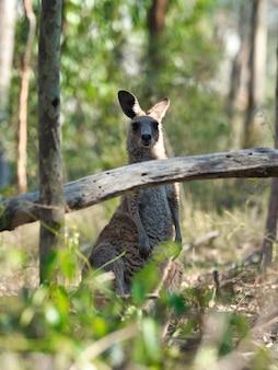 Wallaby stoi na ziemi otoczony zielenią pod słońcem