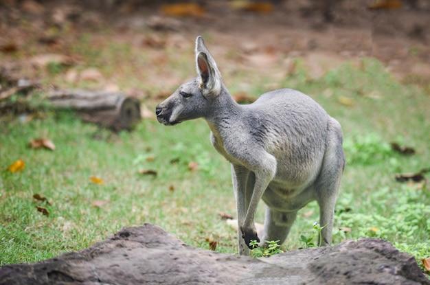 Wallaby z bennet lub wallaby czerwonoszyi - macropus rufogriseus na trawie, kangur