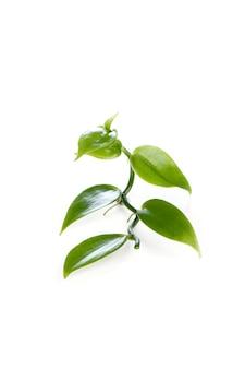 Wanilia i liście izolują na białym tle