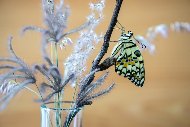 Wapno lub motyl papilio demoleus opuszczają gąsienicę.