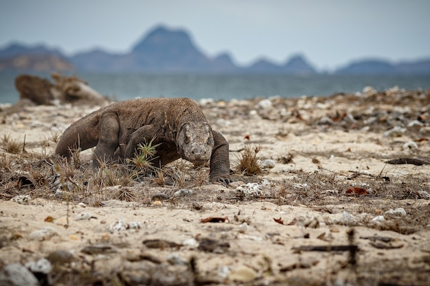Waran z komodo w pięknym naturalnym środowisku na słynnej wyspie w indonezji