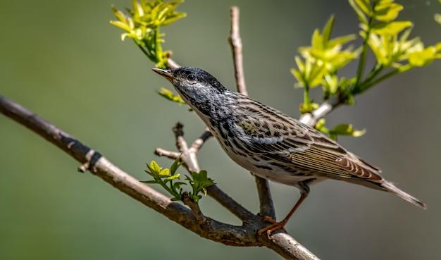 Warbler blackpoll (setophaga striata)