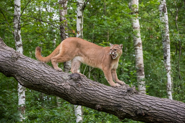 Warczący lew górski schodząc po pochylonym drzewie