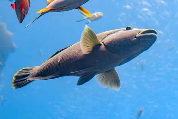 Wargacz garbaty w akwarium (cheilinus undulatus, maori, napoleon wrasse) to duży gatunek wargacza spotykany głównie na rafach koralowych w regionie indo-pacyfiku. atlantyda, sanya, hajnan, chiny.