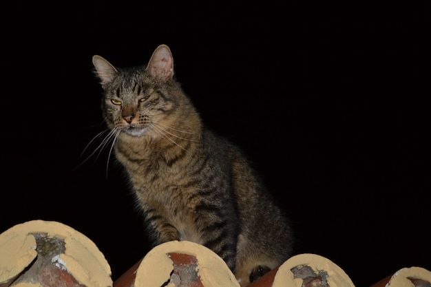 Wartownik szary kot