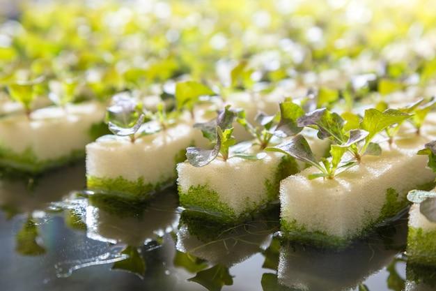 Warzywa hydroponiczne rosnące na wodzie