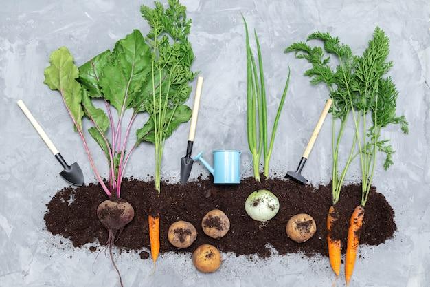 Warzywa korzeniowe w ziemi i narzędzia ogrodnicze na szarym tle. płaski świecki, widok z góry. koncepcja zdrowej żywności.