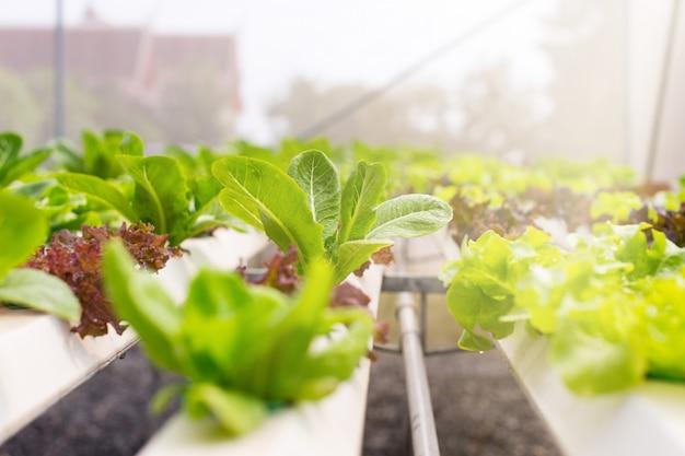 Warzywa organiczne są uprawiane na farmie. organiczne zielone warzywa liściaste są odpowiednie dla tych, którzy kochają zdrowie. obecnie istnieje szeroko rozpowszechnione rolnictwo ekologiczne.