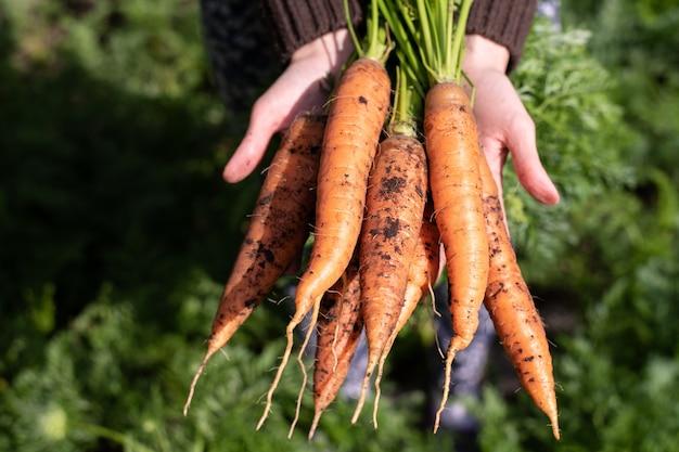 Warzywa organiczne. świeże niemyte marchewki w rękach kobiet-rolników.