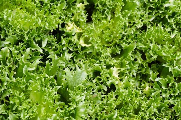 Warzywa sałat lodowych frillice rosnące w gospodarstwie rolnym