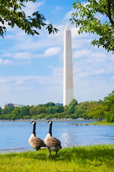 Washington monument and tidal basin ducks dc