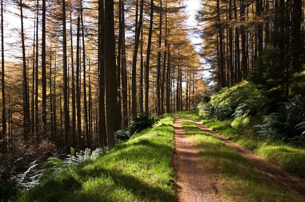 Wąska błotnista droga w lesie z wysokimi drzewami