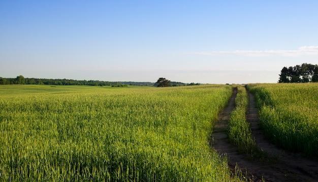 Wąska dwutorowa droga w polu rolnym do przemieszczania maszyn rolniczych i przetwórstwa roślin