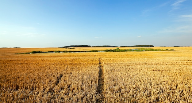 Wąska ścieżka w polu uprawnym, którym jest zwężająca się pszenica.