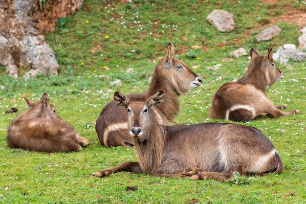 Waterbuck (kobus ellipsiprymnus) jest dużą antylopą występującą powszechnie w afryce subsaharyjskiej.
