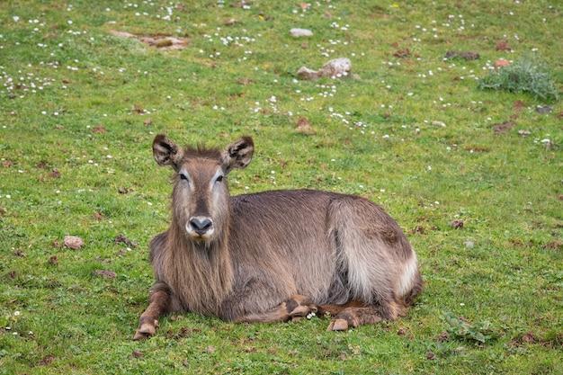 Waterbuck (kobus ellipsiprymnus) jest dużą antylopą.