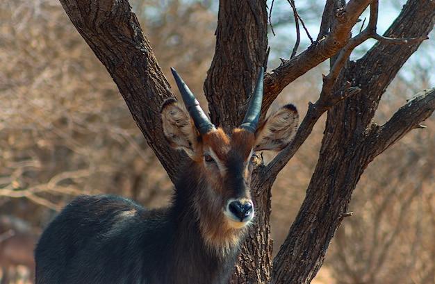 Waterbuck mężczyzna z bliska w wysokiej trawie. park narodowy etosha, namibia. dzikie zwierzęta afrykańskie.