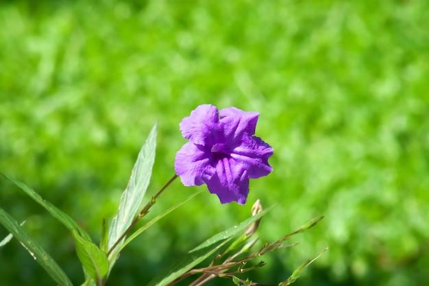 Waterkanon, watrakanu, korzeń minnie, korzeń żelaza, korzeń gorączki. fioletowy kwiat