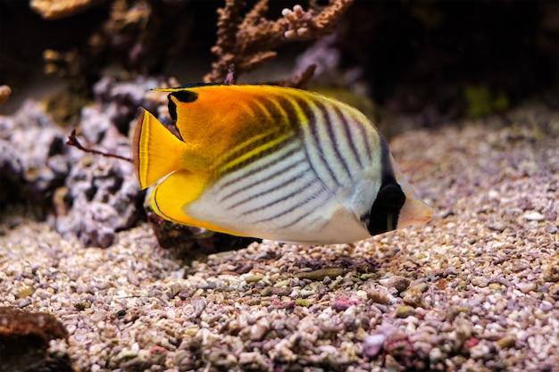 Wątkowa ryba motylkowata chaetodon auriga ryba pod wodą w morzu