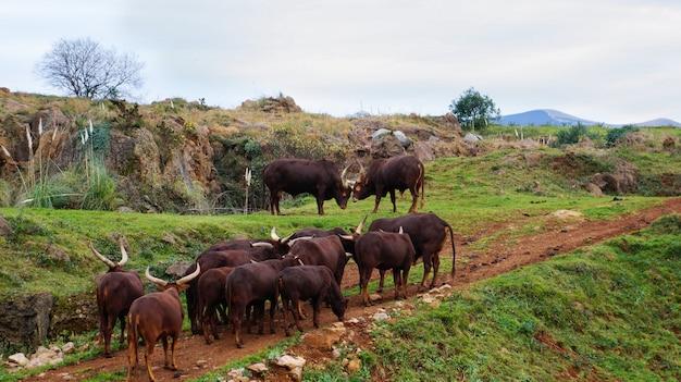 Watusi w cabarceno parku przyrody, kantabria, hiszpania