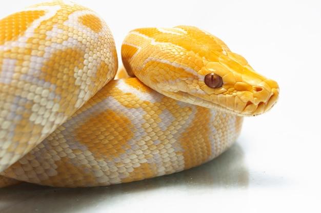Wąż albino birmański python na białym tle